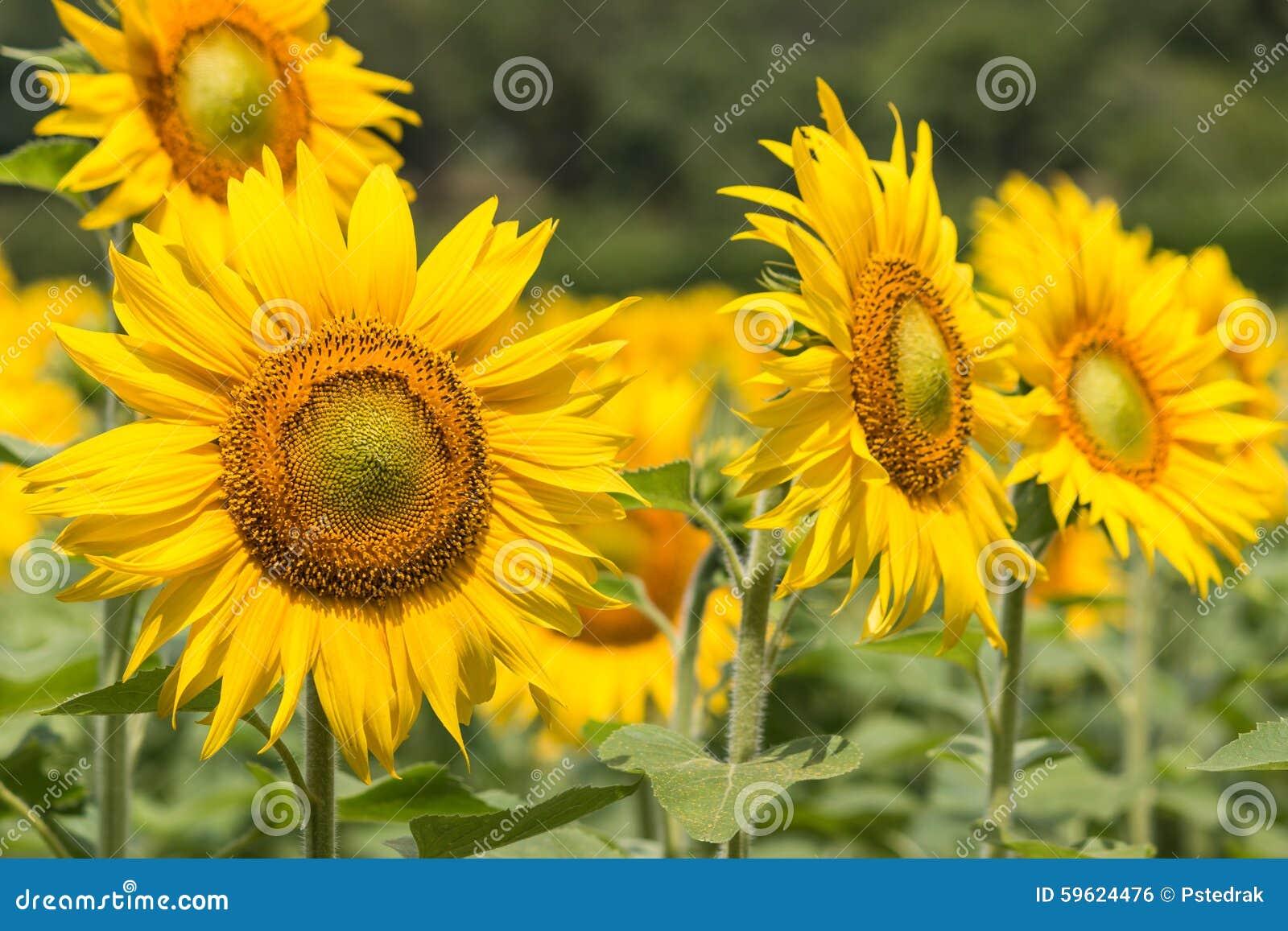在绽放的向日葵