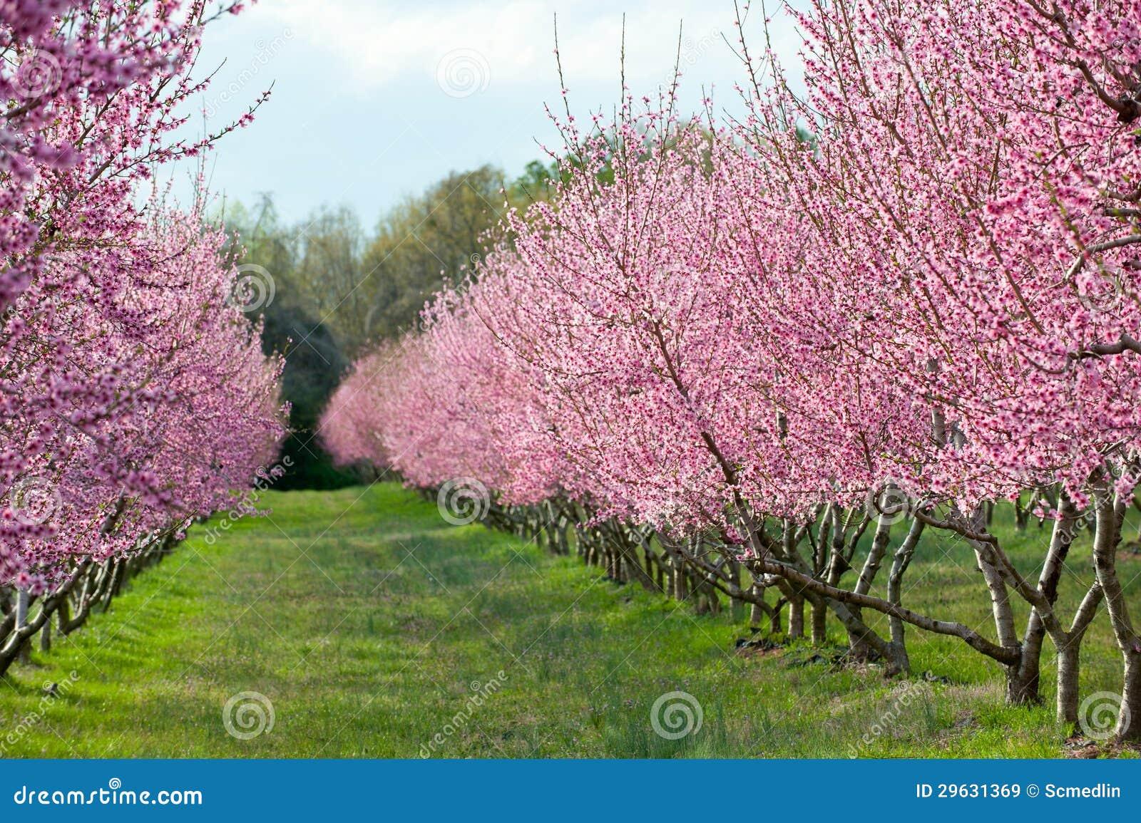 在绽放的桃树