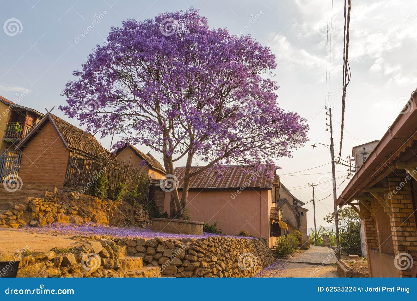 在绽放的紫色兰花楹属植物在非洲城市广场