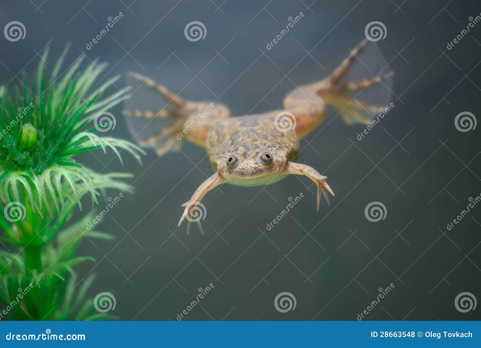 在水之下的黄色青蛙游泳在水族馆.图片