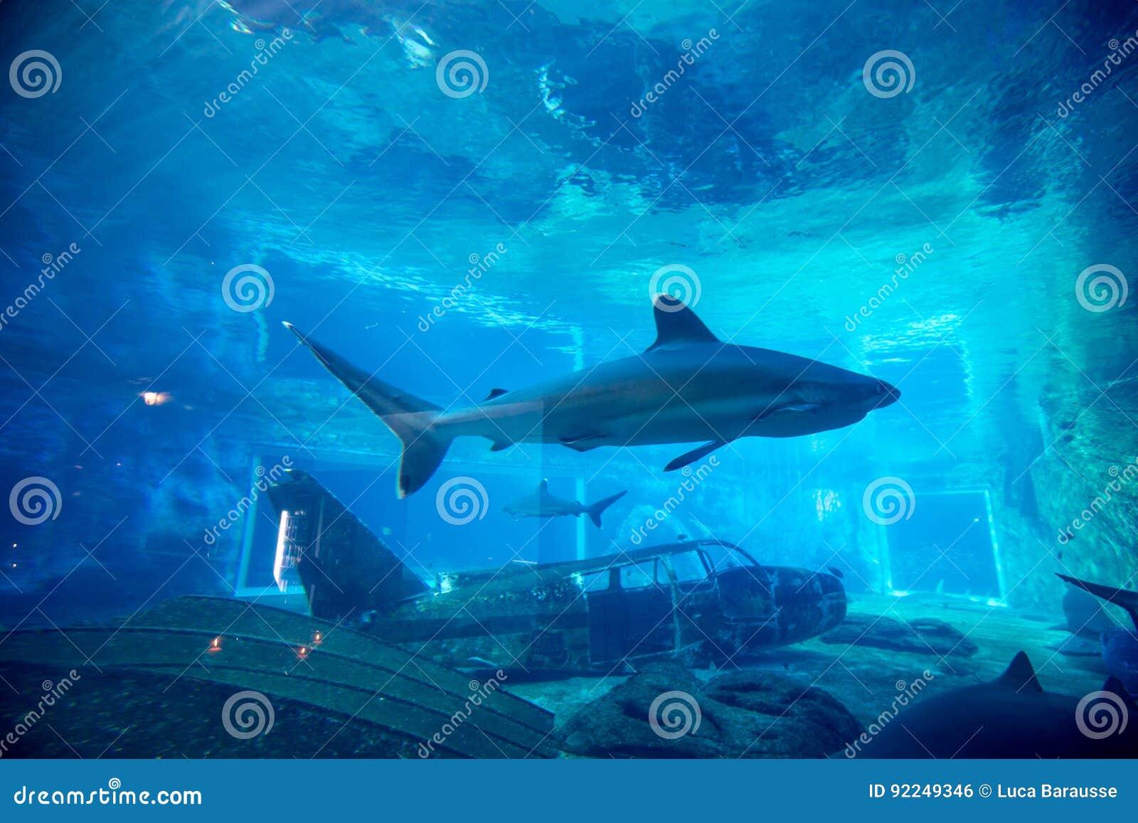 在水族馆的锭床工人鲨鱼