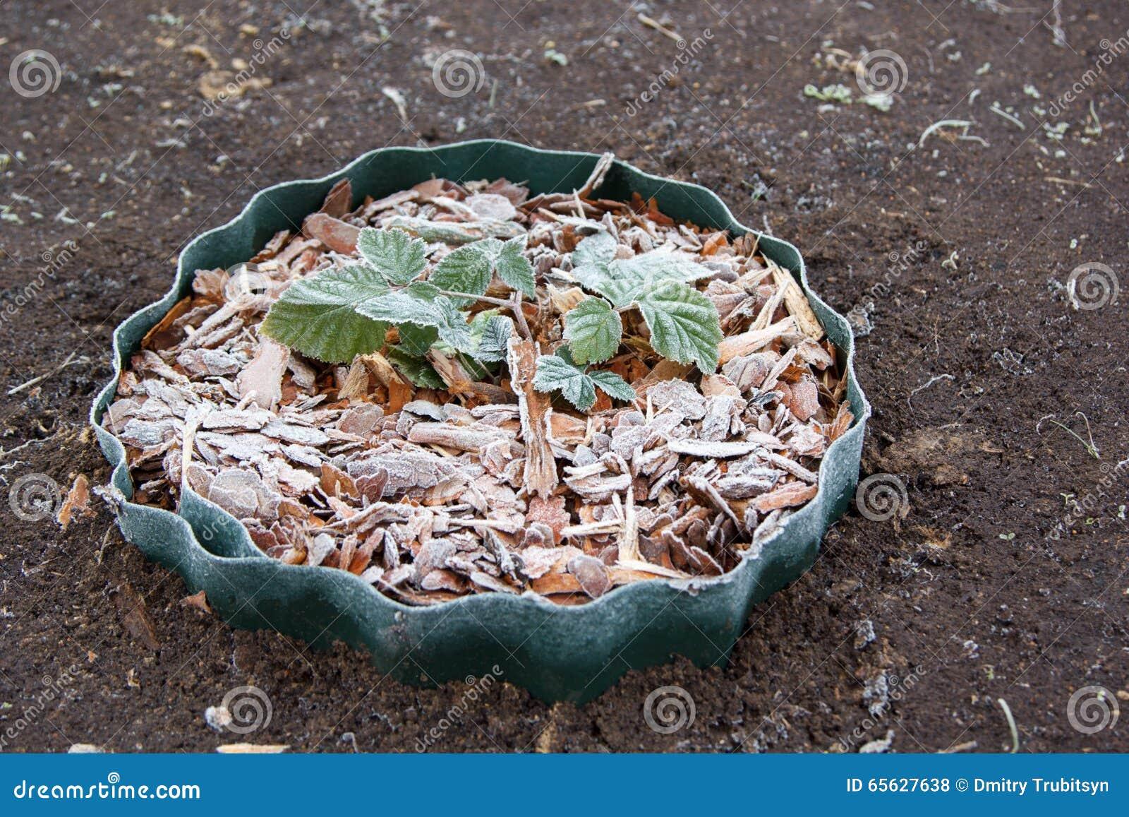 在冻木片的年轻黑莓灌木