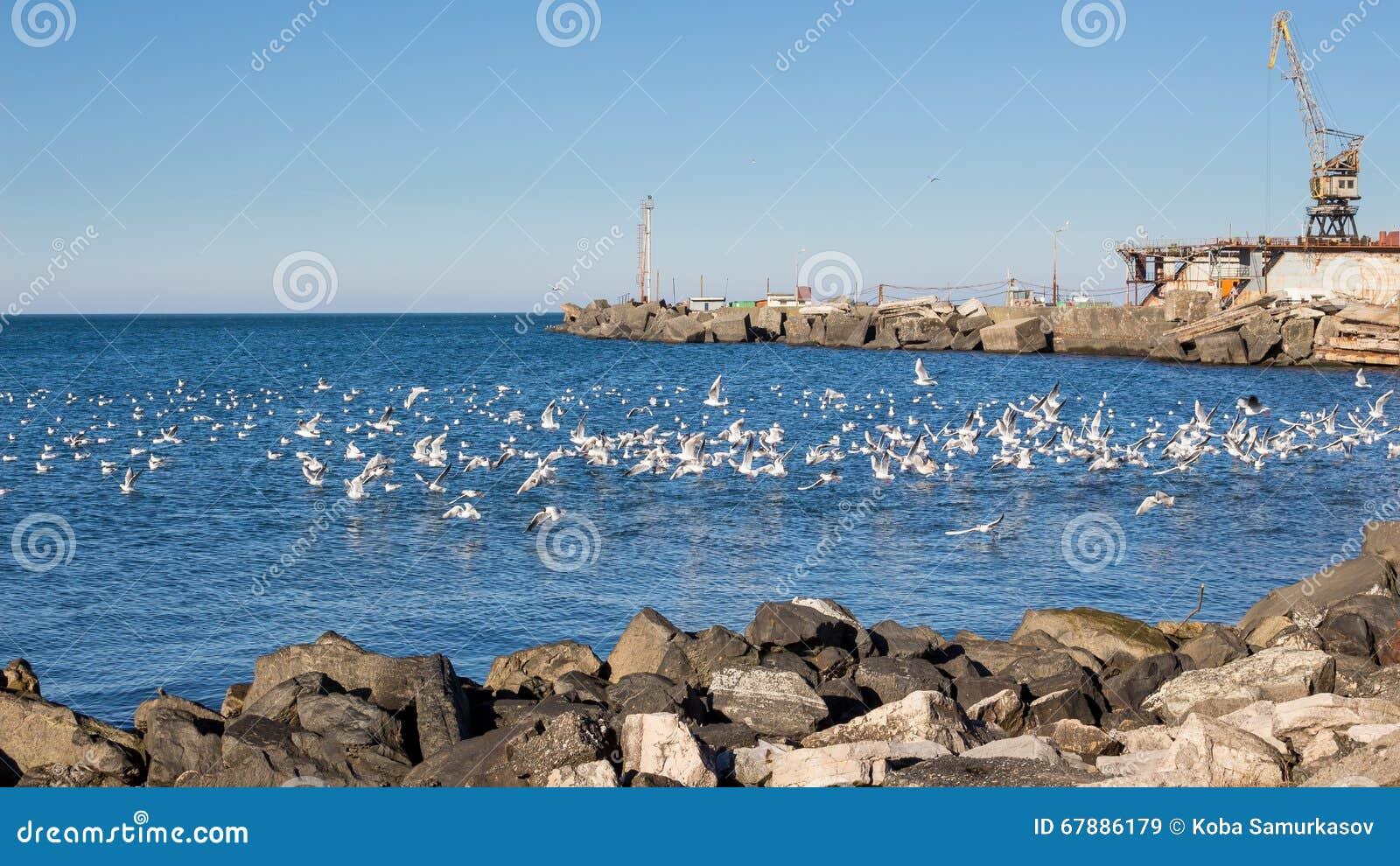 在黑海的海鸥