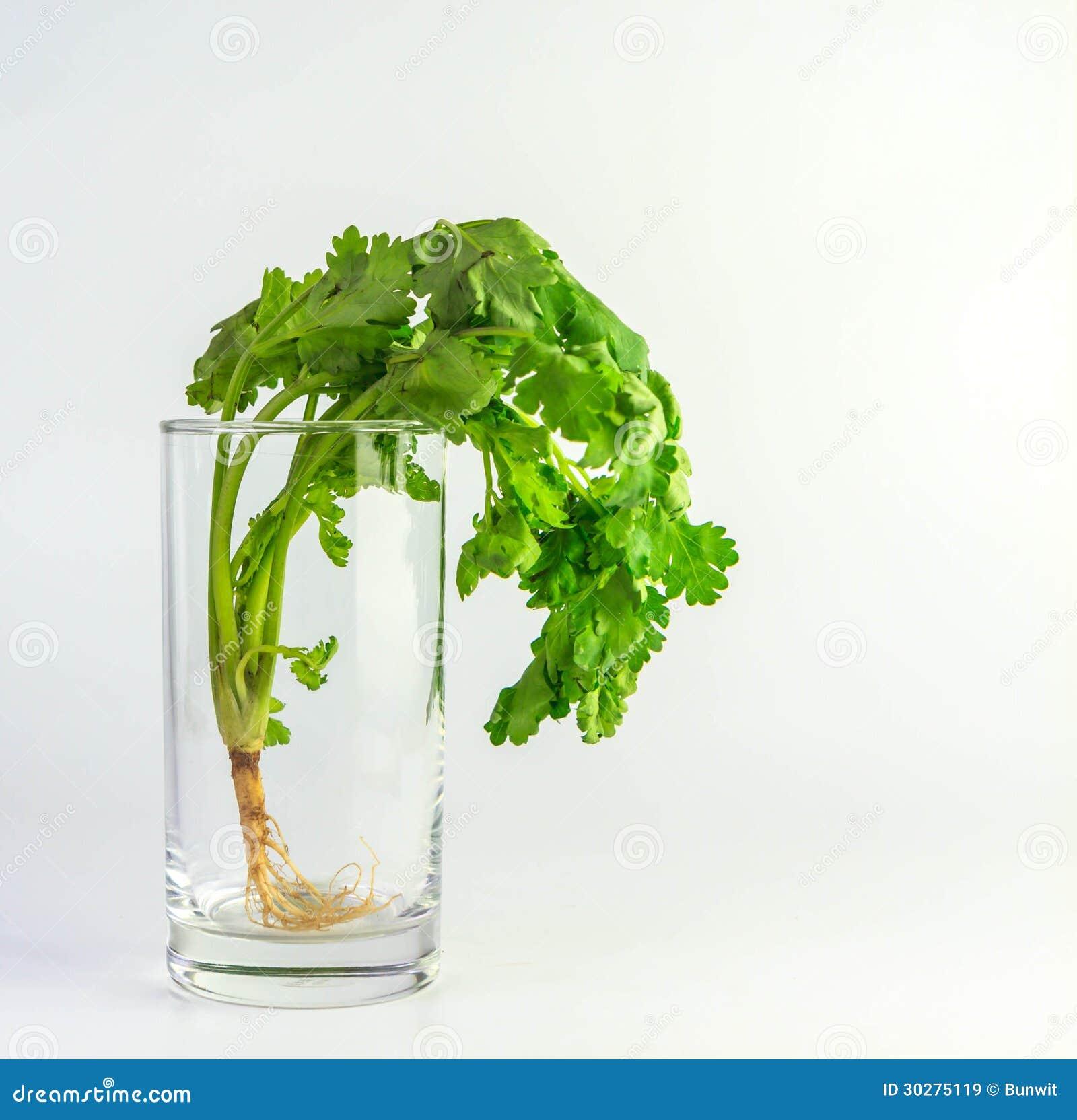 在玻璃的香菜
