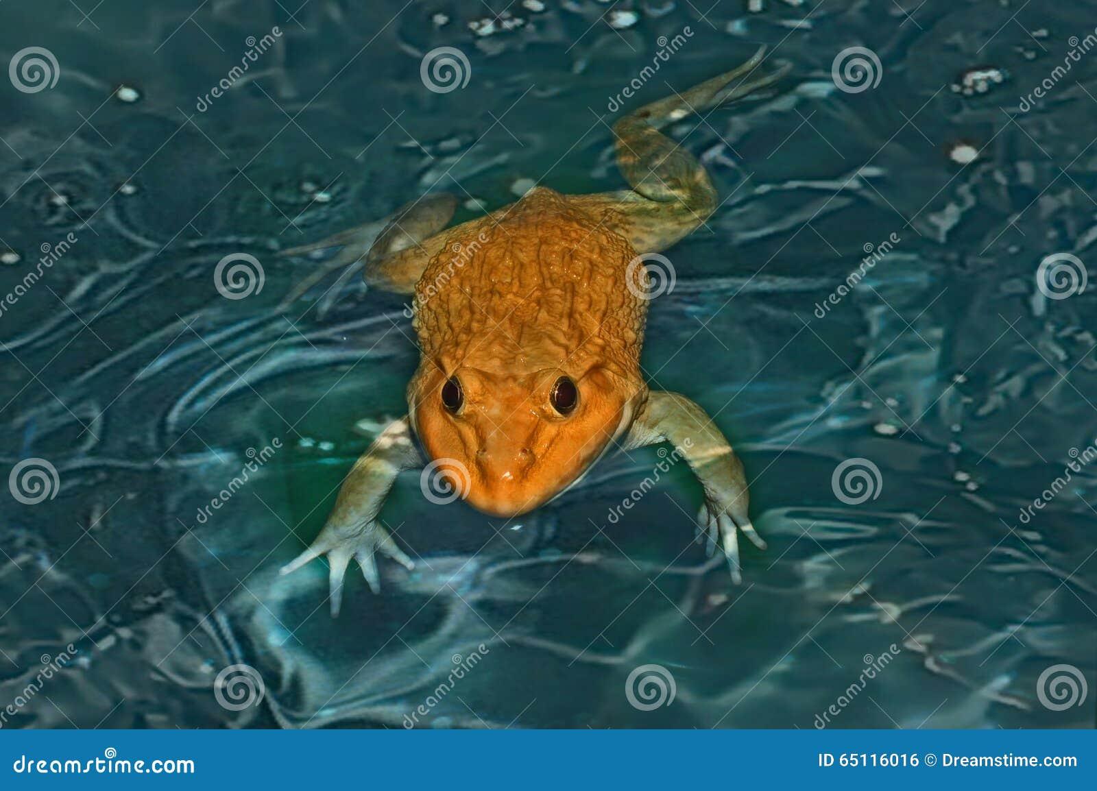 金黄的青蛙 游泳 在鱼池.图片