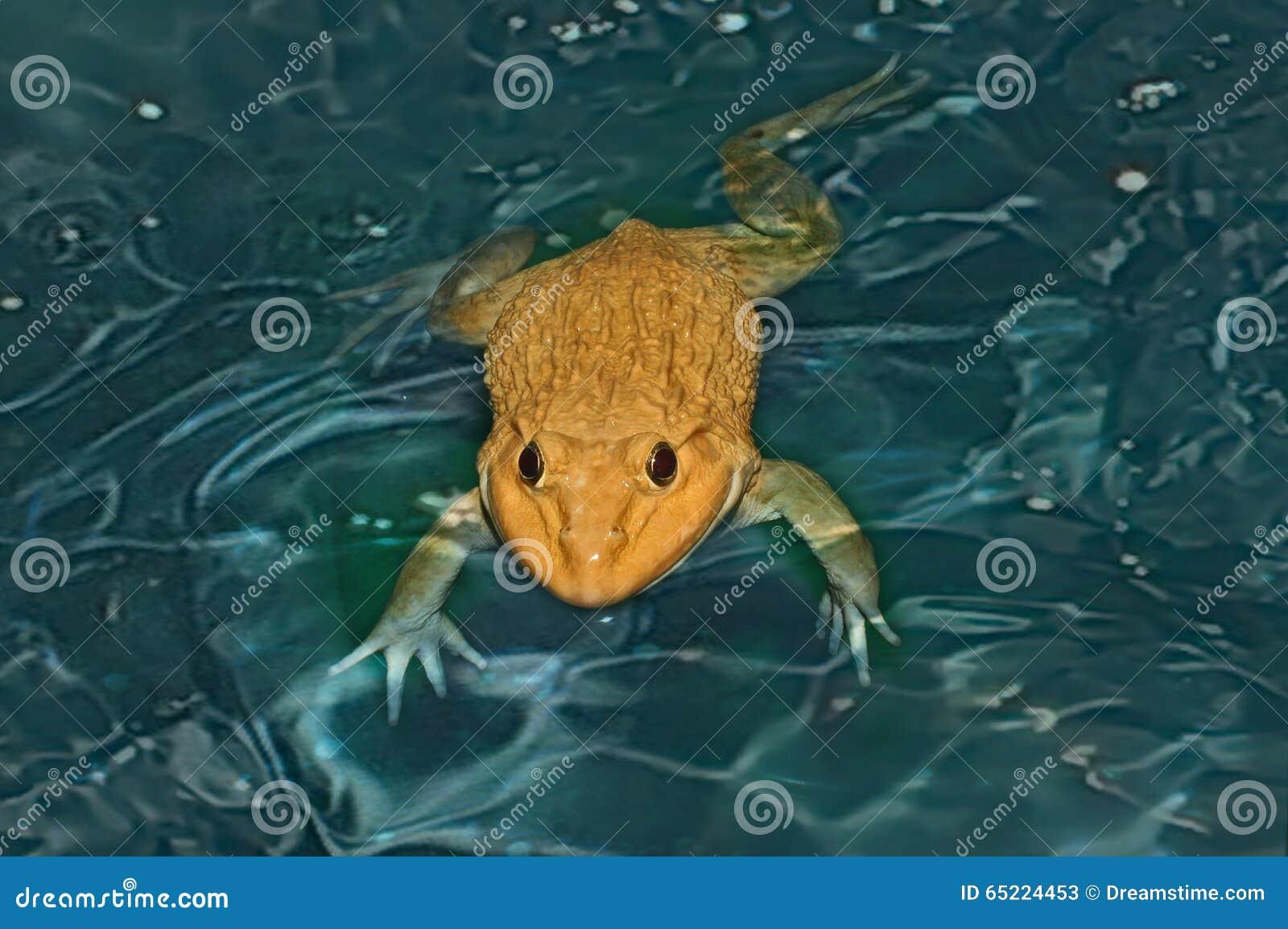 在水的青蛙 不显现表情的脸