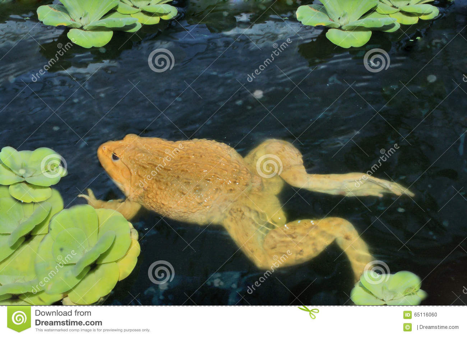 在水的青蛙