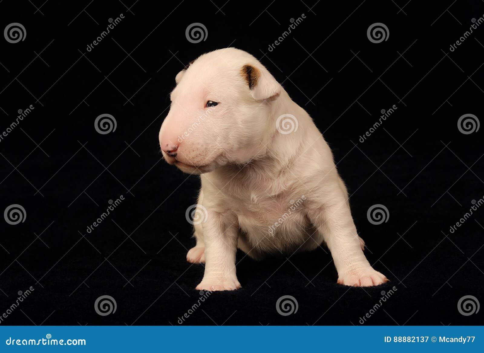 在黑背景的白色杂种犬小狗