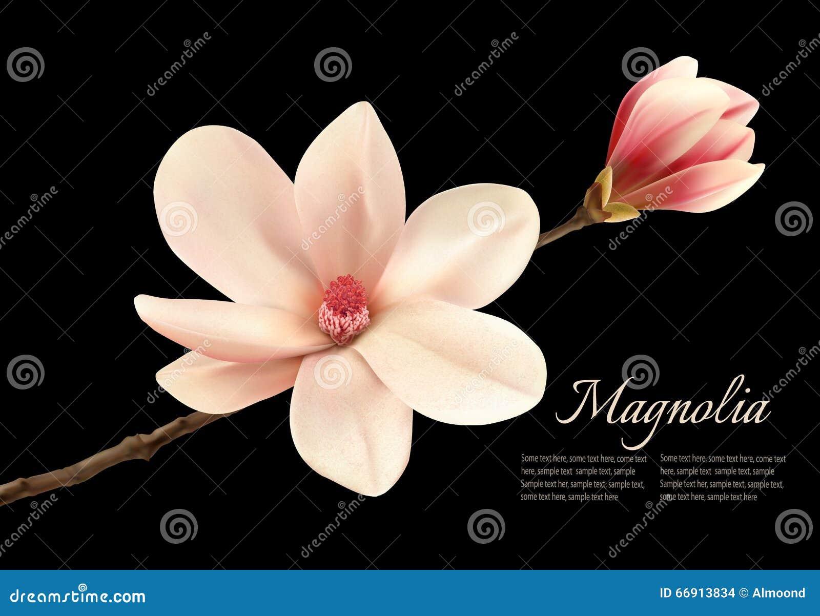 在黑背景的美丽的白色木兰花