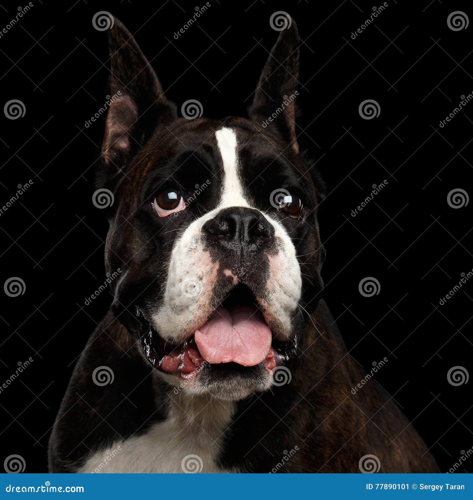 在黑背景隔绝的纯血统拳击手狗