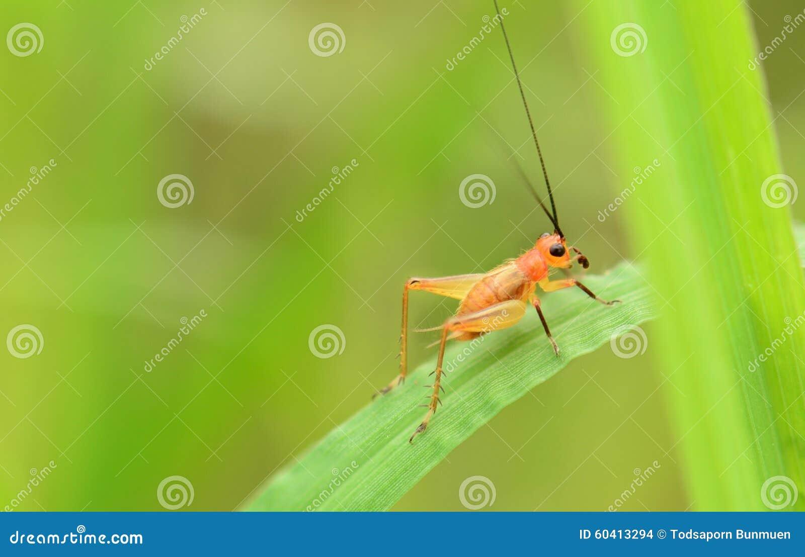 在绿色叶子的蟋蟀有软的背景