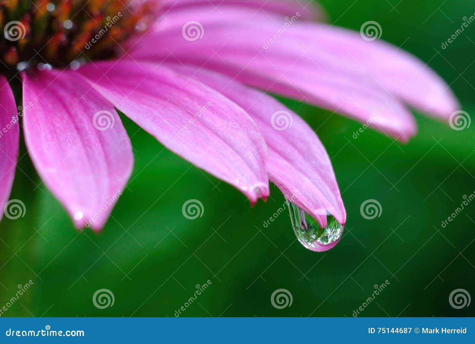 在紫色Coneflower的雨珠