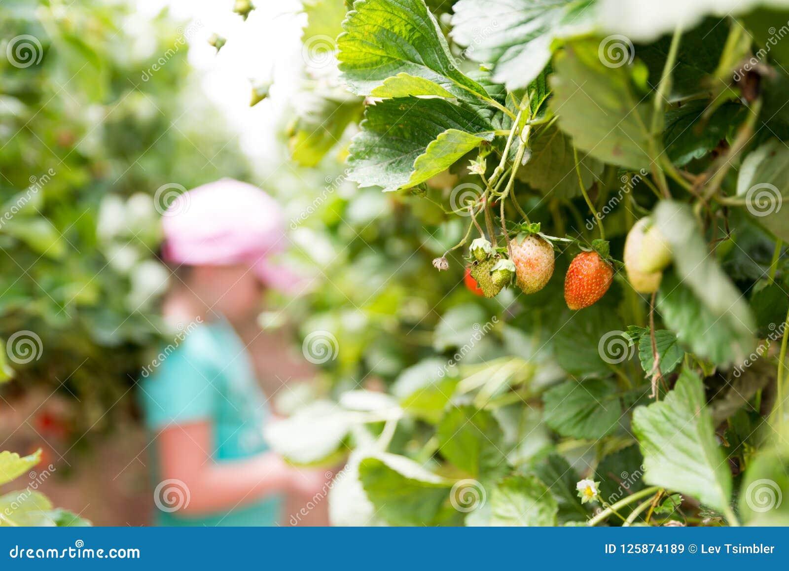 在Agronen莓的自已采摘在盖代拉