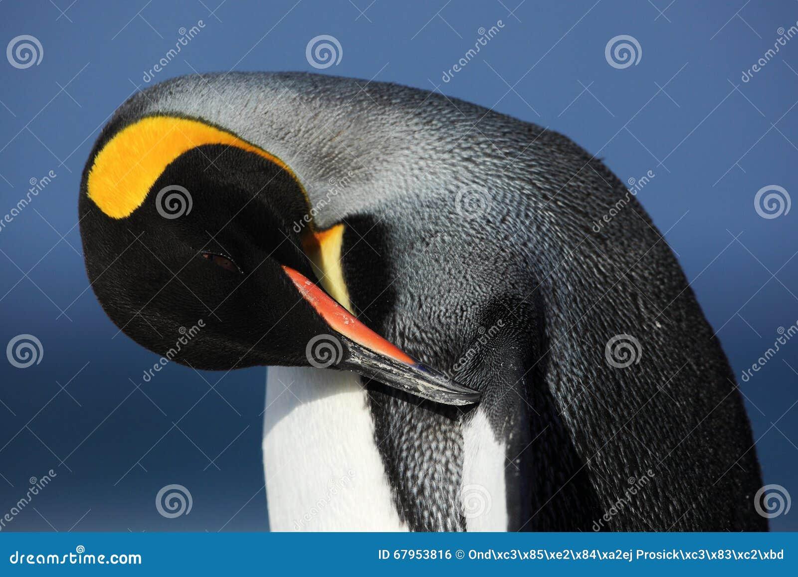 在Antartica详述企鹅国王清洁全身羽毛画象
