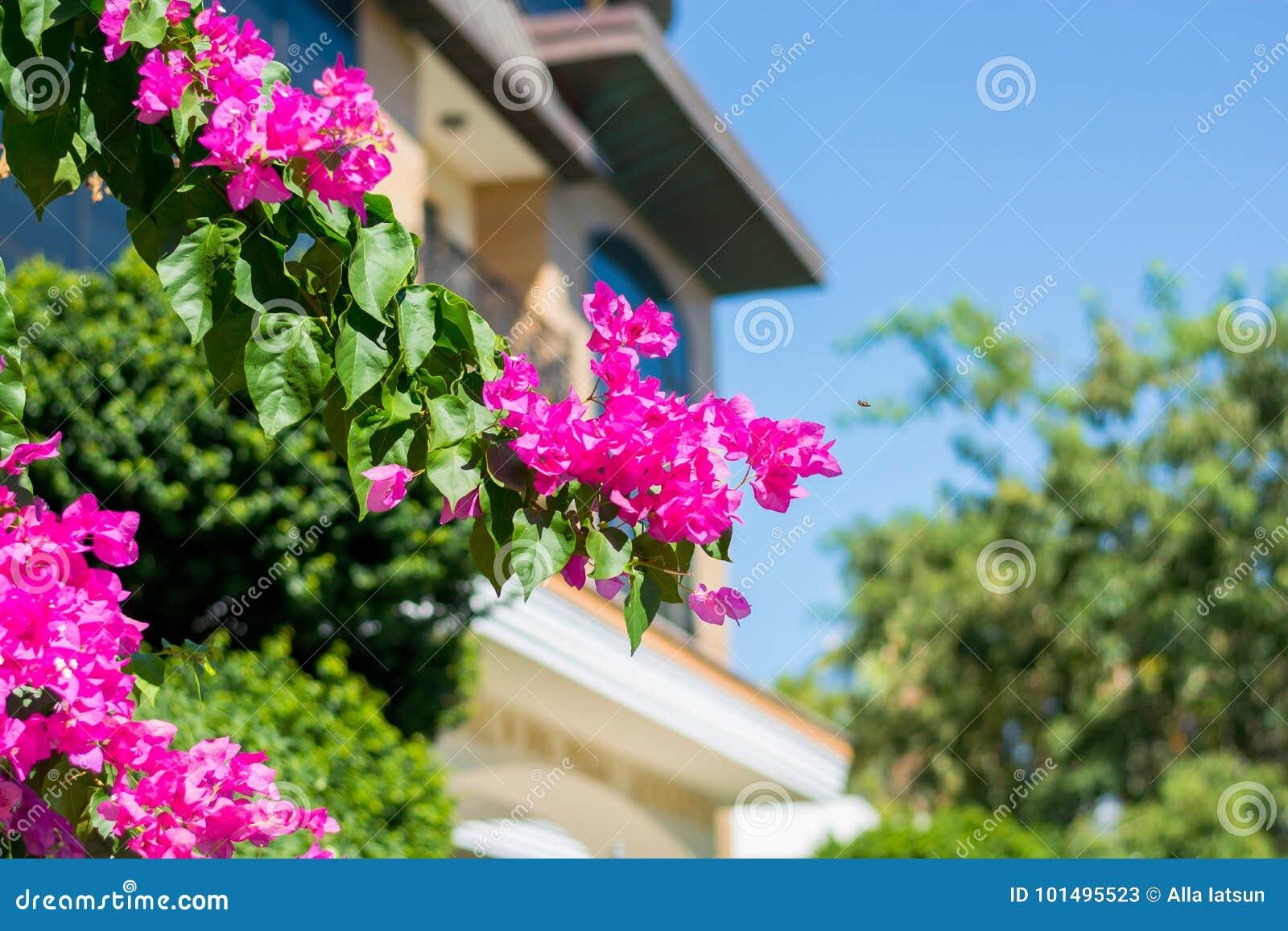 在Bu的背景的九重葛装饰花灌木