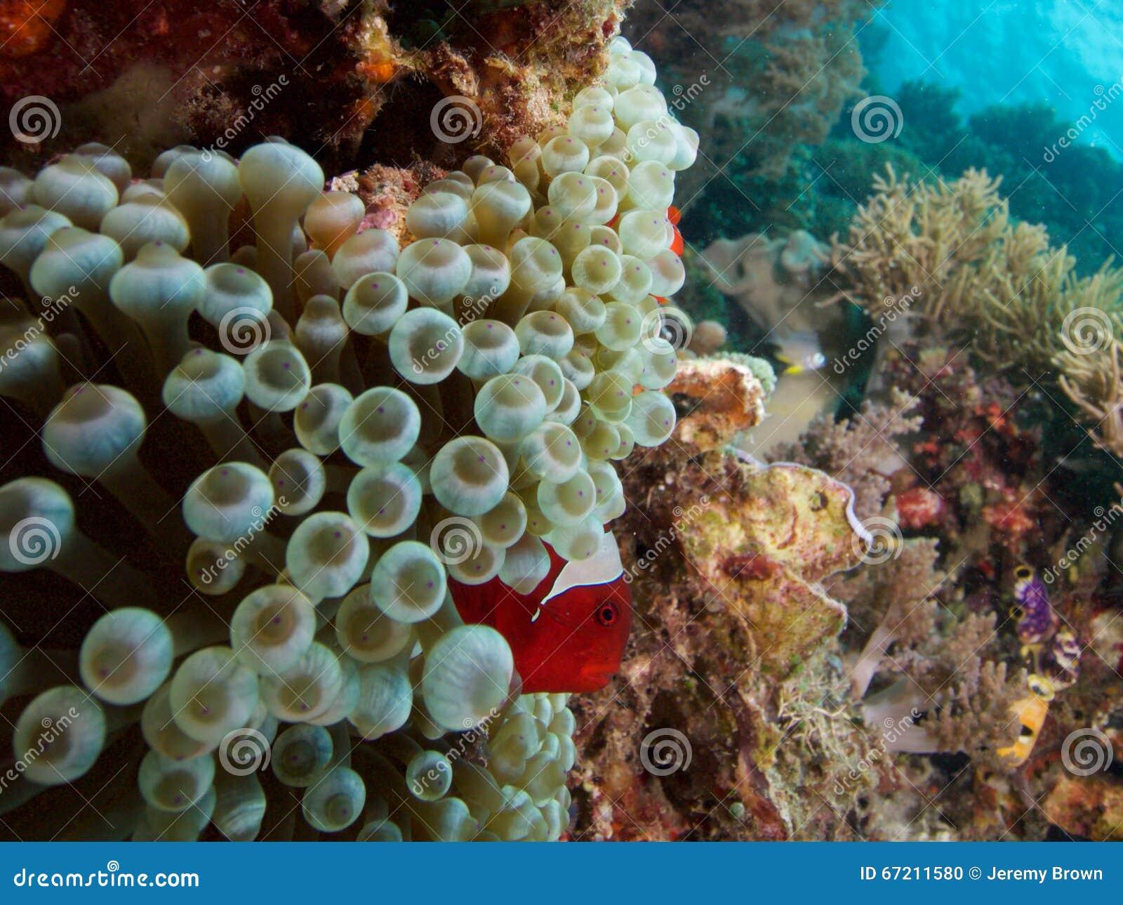 在bubbletip银莲花属,王侯Ampat,印度尼西亚的Spinecheeked clownfish