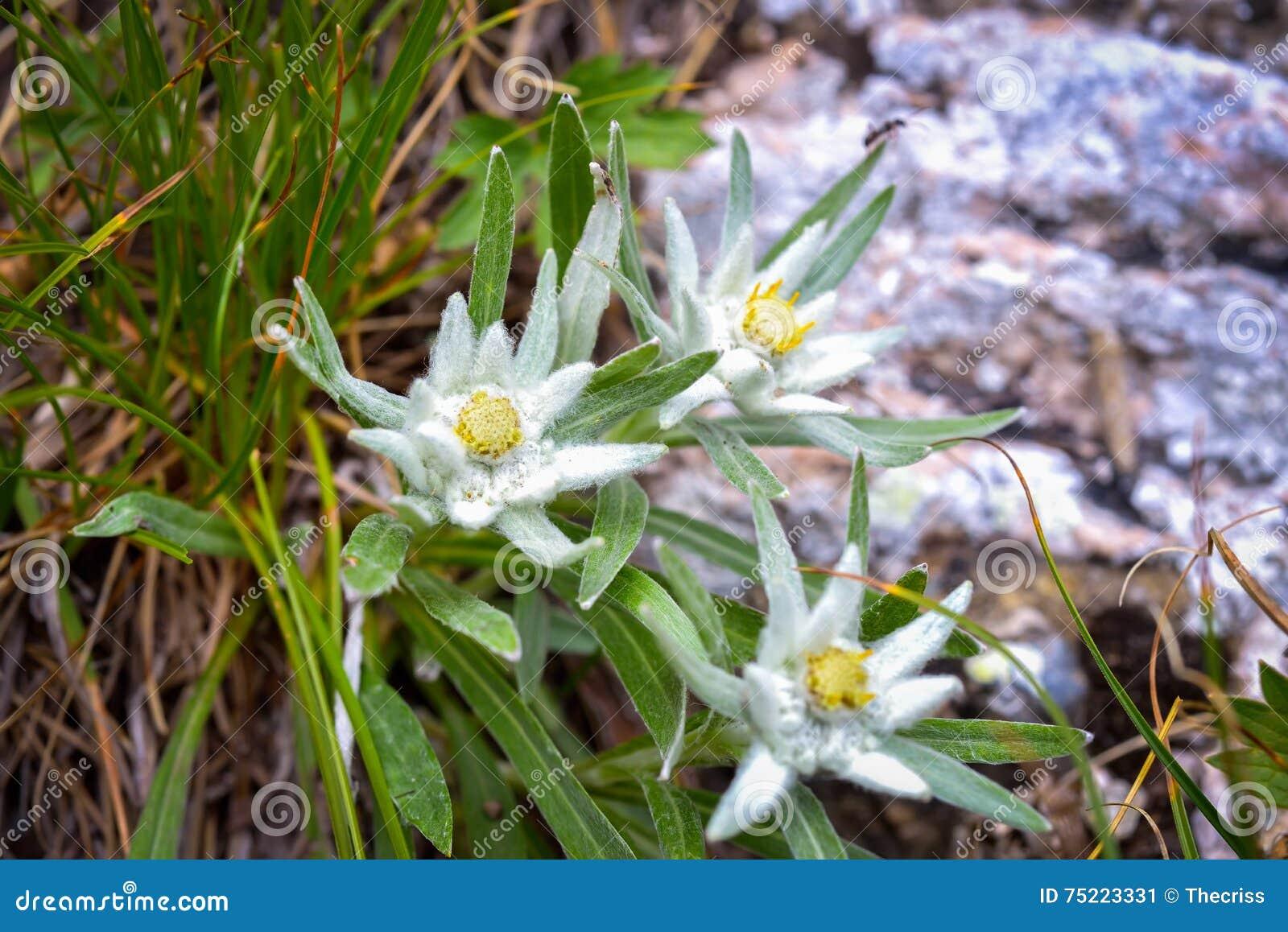 在Ceahlau山的Edelweiss高山花,罗马尼亚