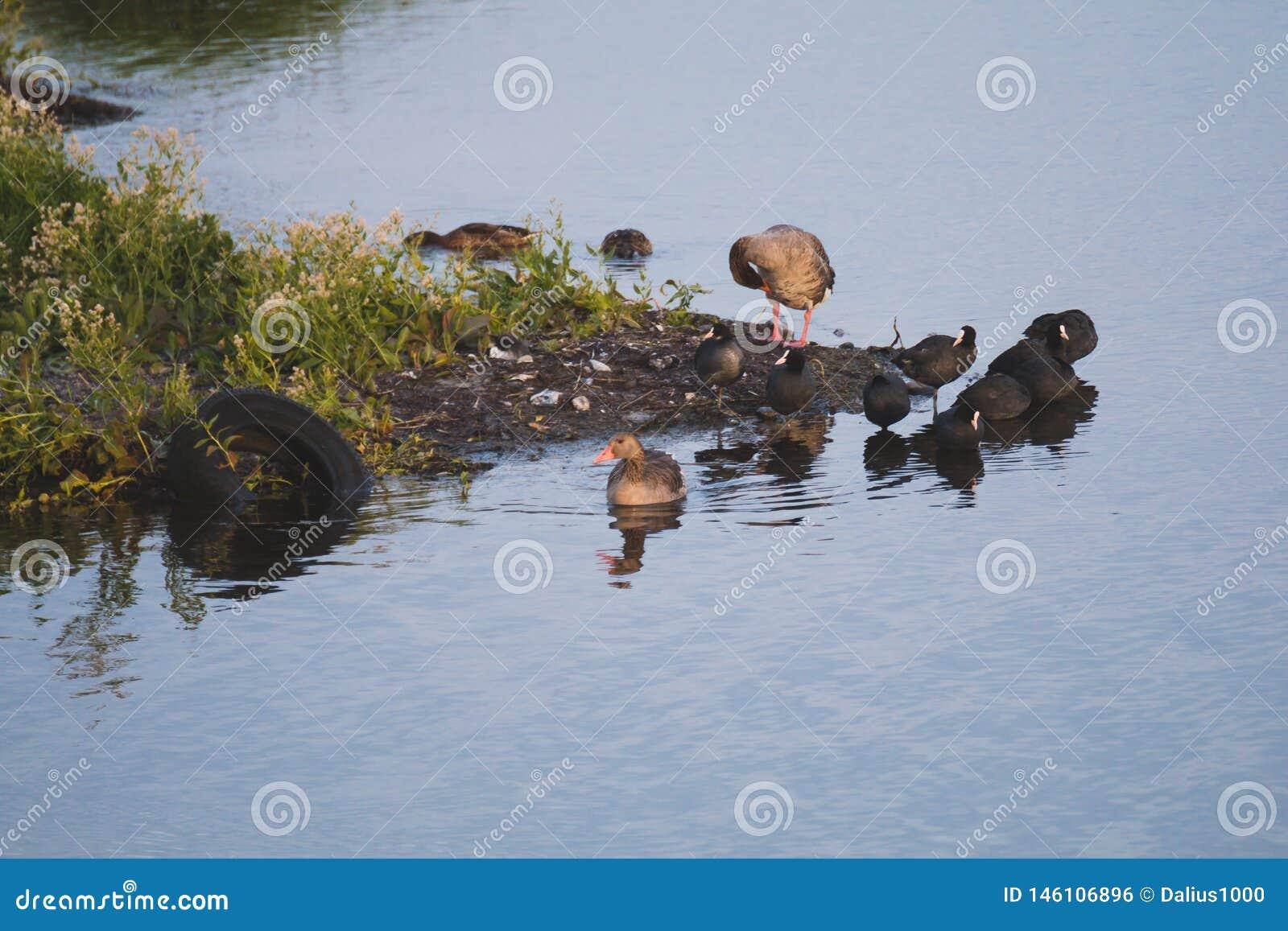 在cosat污染的边的Gooses和老傻瓜鸟在水车胎的