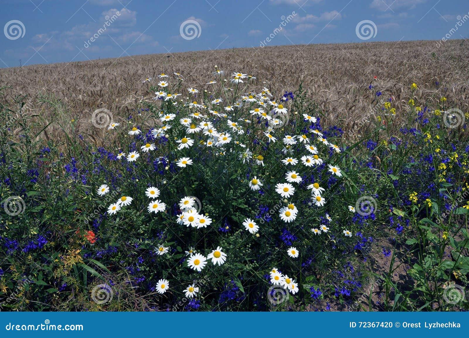 在field_4的开花的雏菊