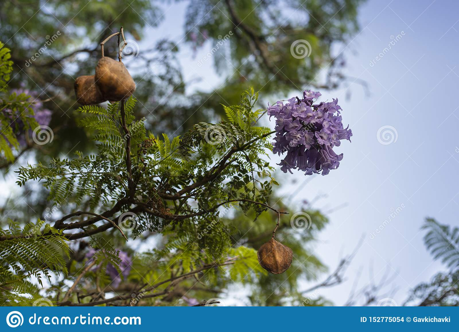 在jakaranda开花的树分支的淡紫色花