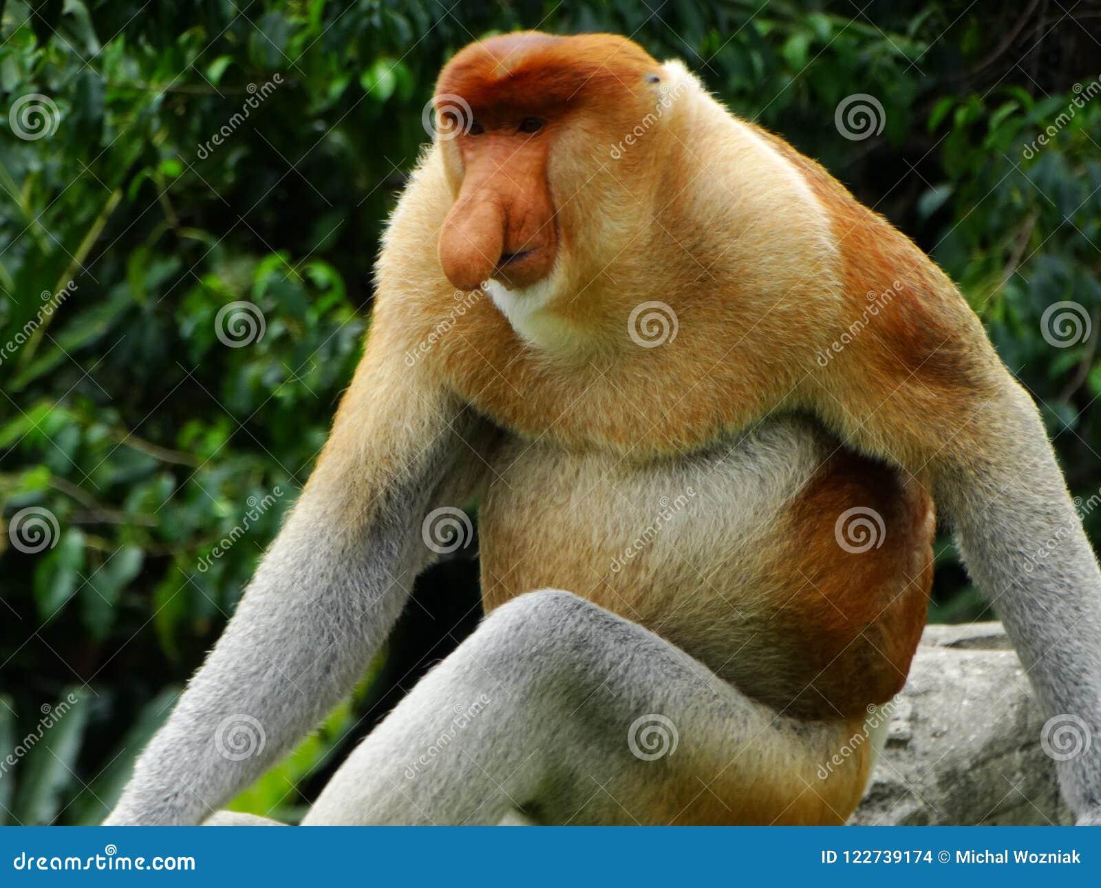 在Labuk海湾美洲红树的一只罕见的长鼻猴