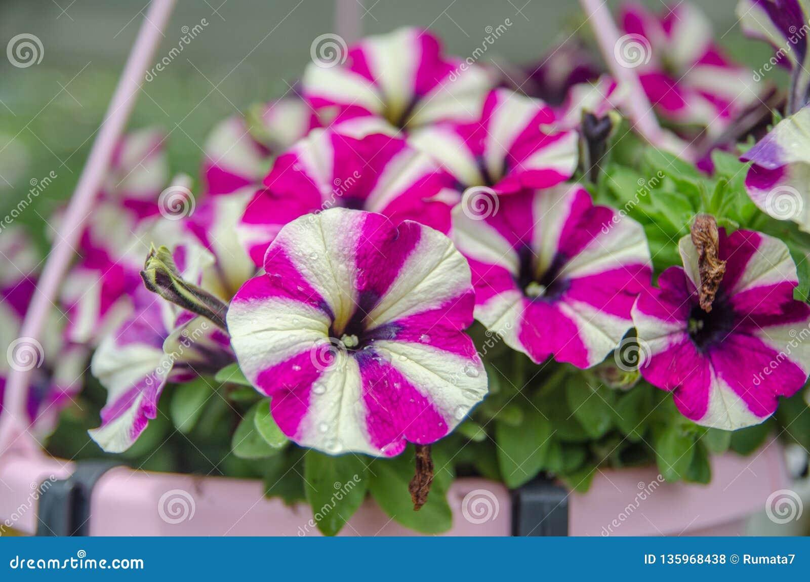在Mainau海岛庭院的美丽的喇叭花花