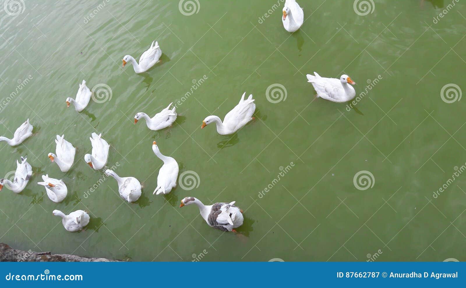 在Nakki湖莫乌恩特阿布的嬉戏的鸭子