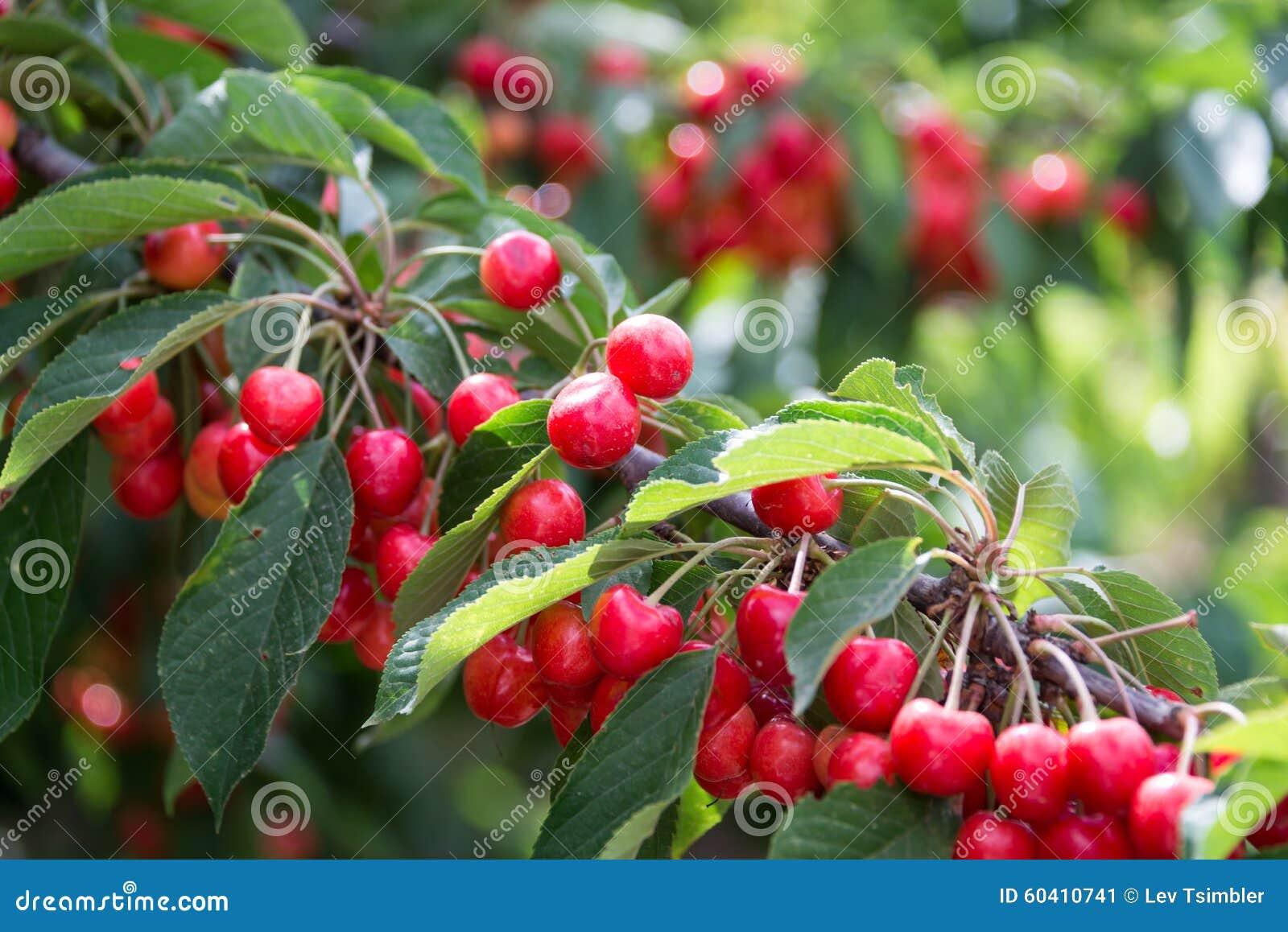 在Odem的采摘樱桃