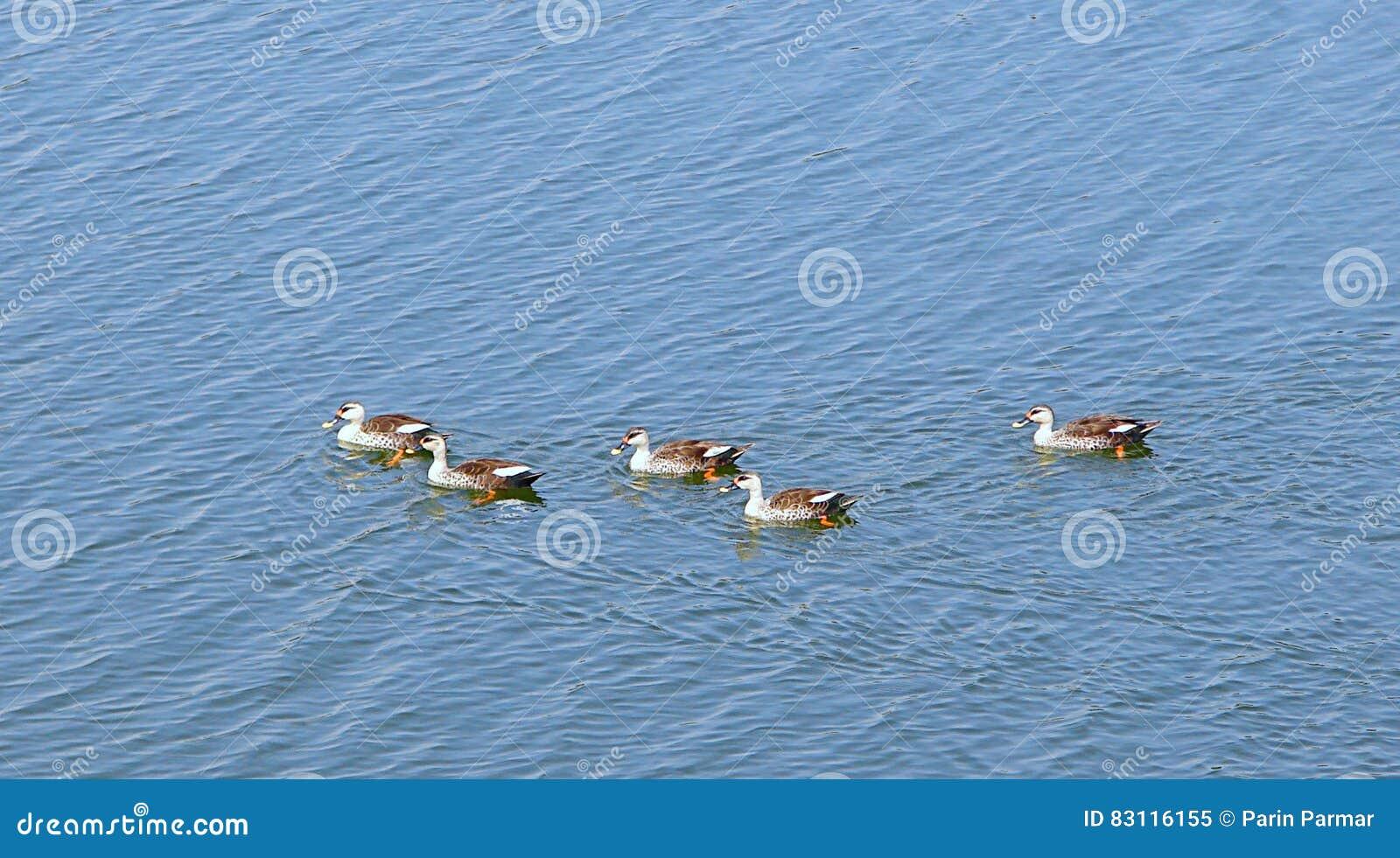 在Randarda湖,拉杰科特,印度的斑点开帐单的鸭子