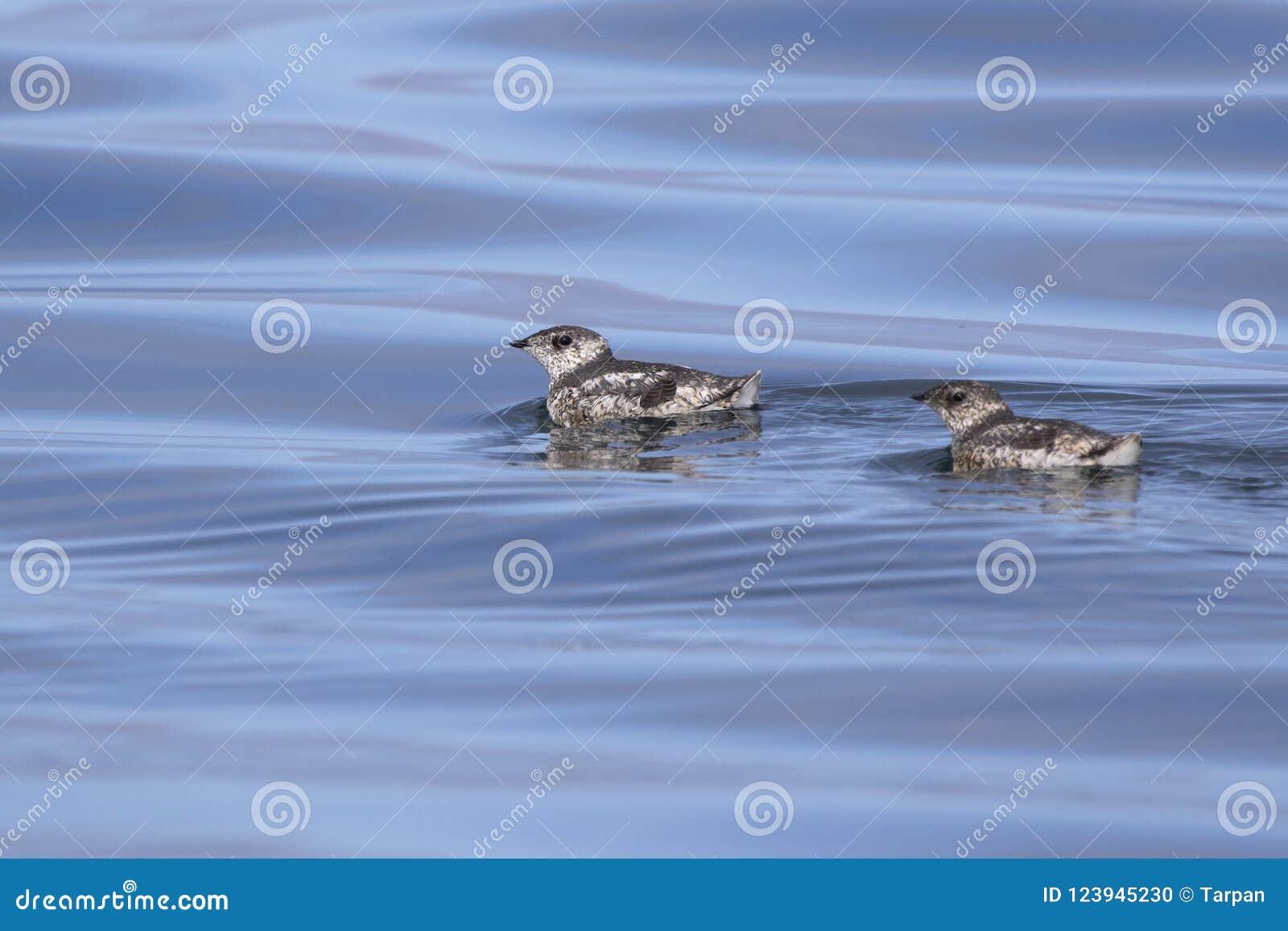 在su的水浮动的两kittlitzs murrelet