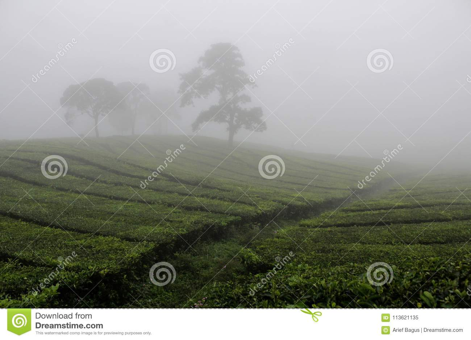 在Sukawana茶领域的雾