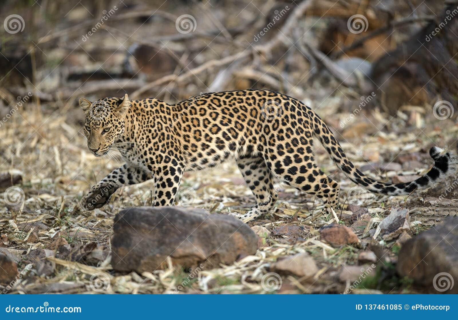 在Tadoba,钱德拉普尔,马哈拉施特拉,印度的豹子