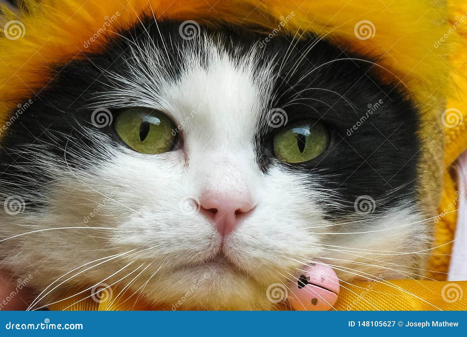 在tha黄色围巾关闭的美好的猫coverd头
