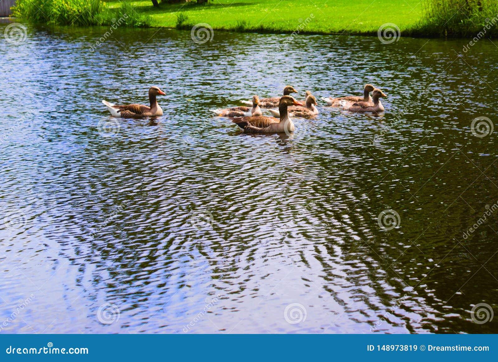 在vondelpark的鸭子游泳在运河的