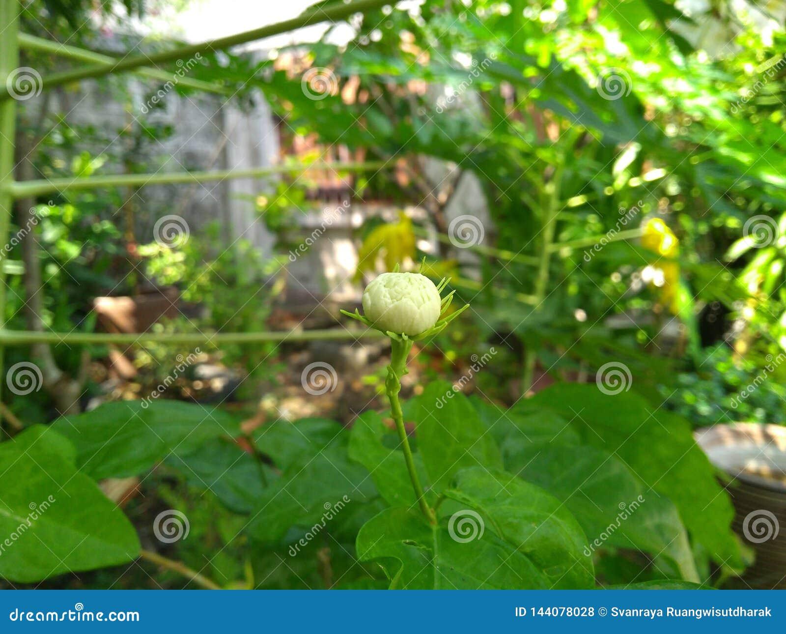 在y树下树荫的年轻茉莉花花