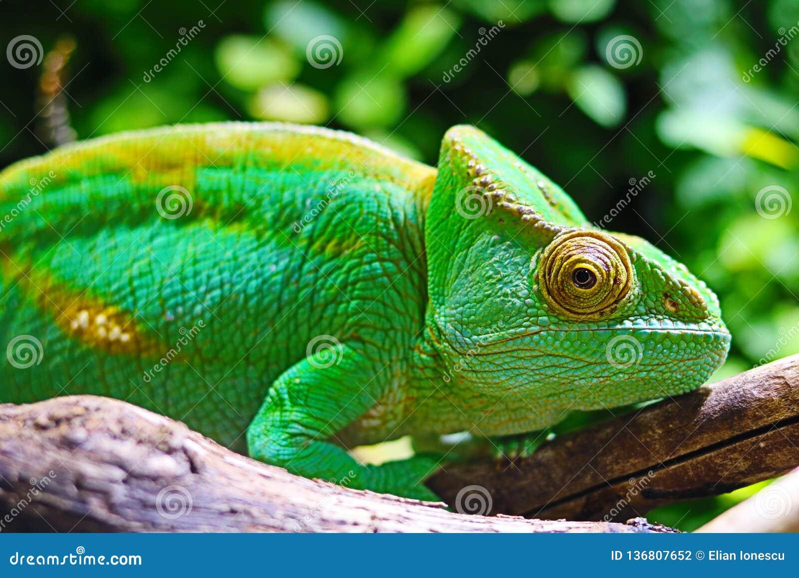 地中海变色蜥蜴特写镜头- Chamaeleo变色蜥蜴