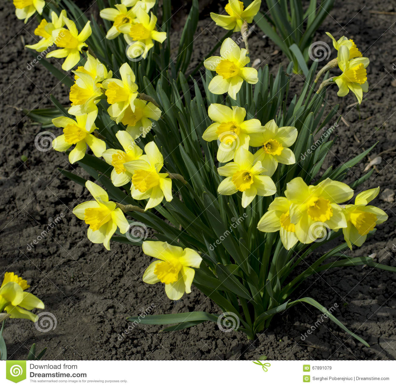 地球上的黄色春天花