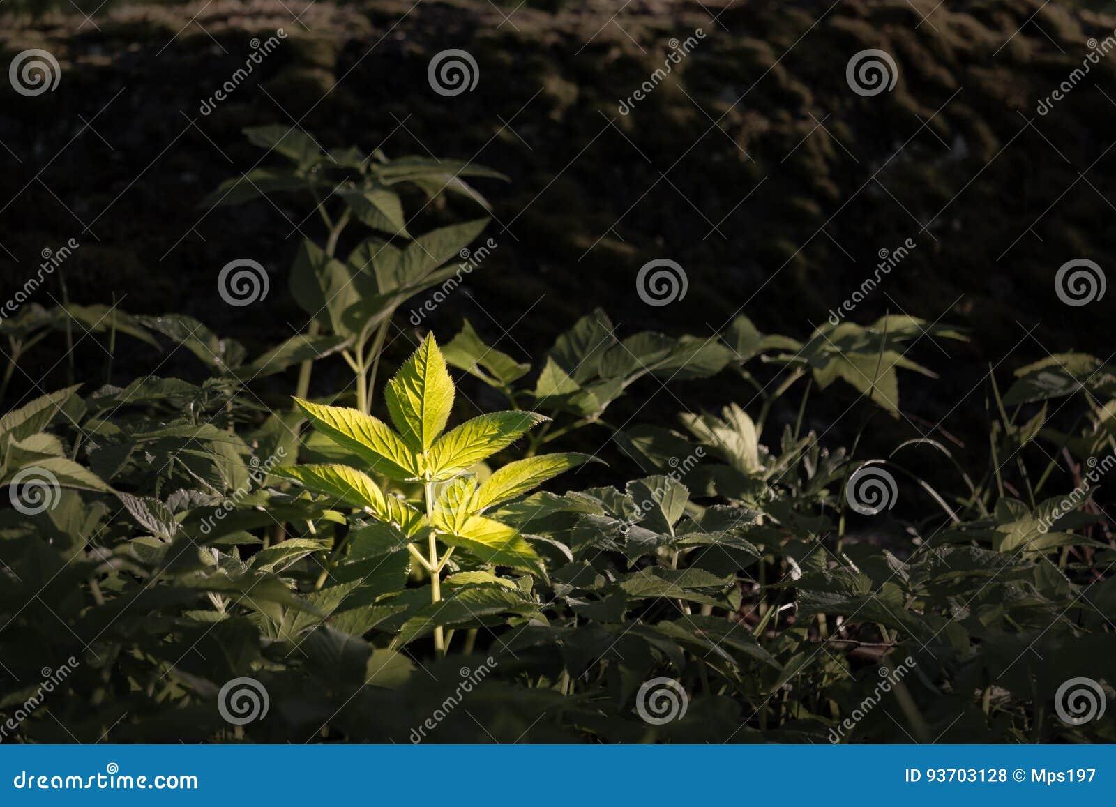 地面长辈狂放的草本叶子在森林里突出了