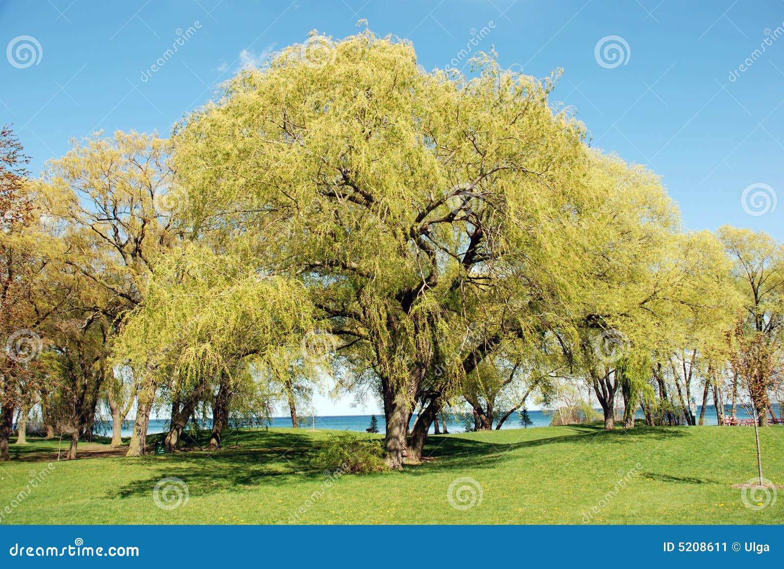 场面结构树垂柳