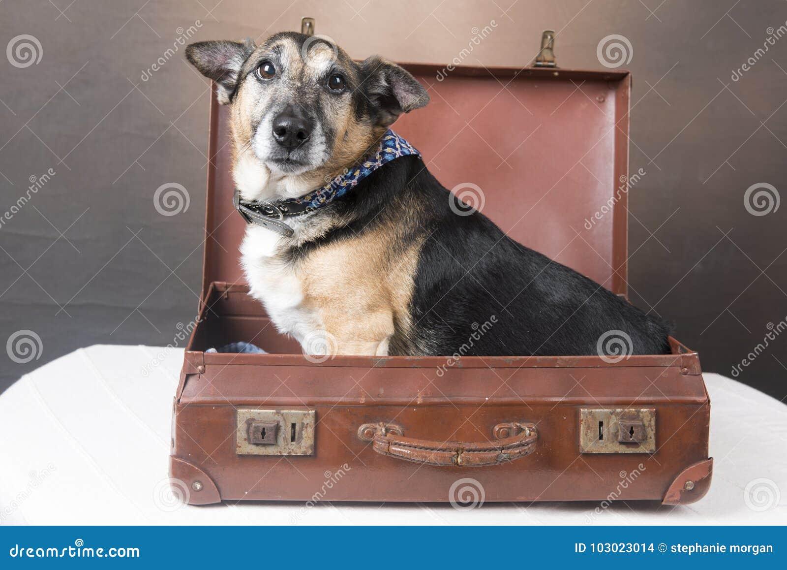 坐在一个古板的手提箱里面的逗人喜爱的小狗狗