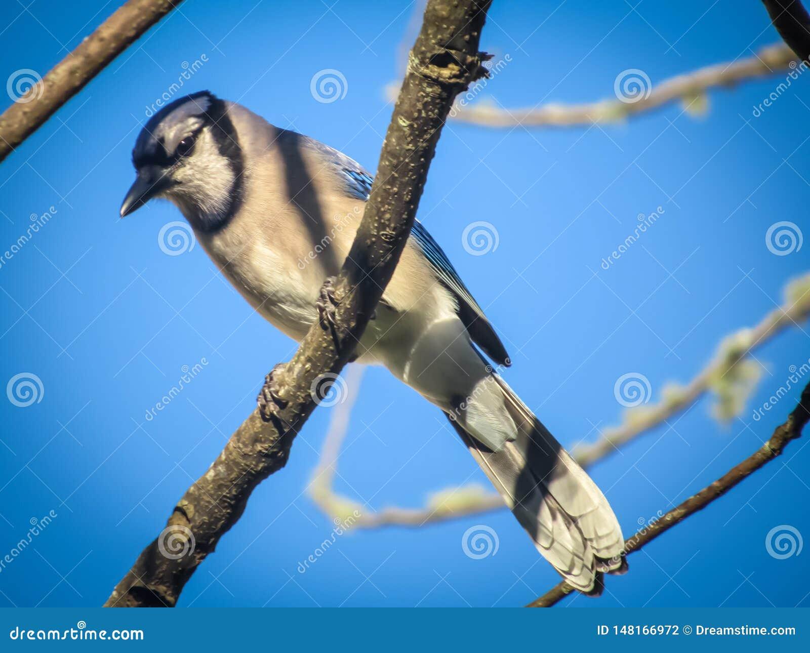 ?? 坐在树的蓝色尖嘴鸟