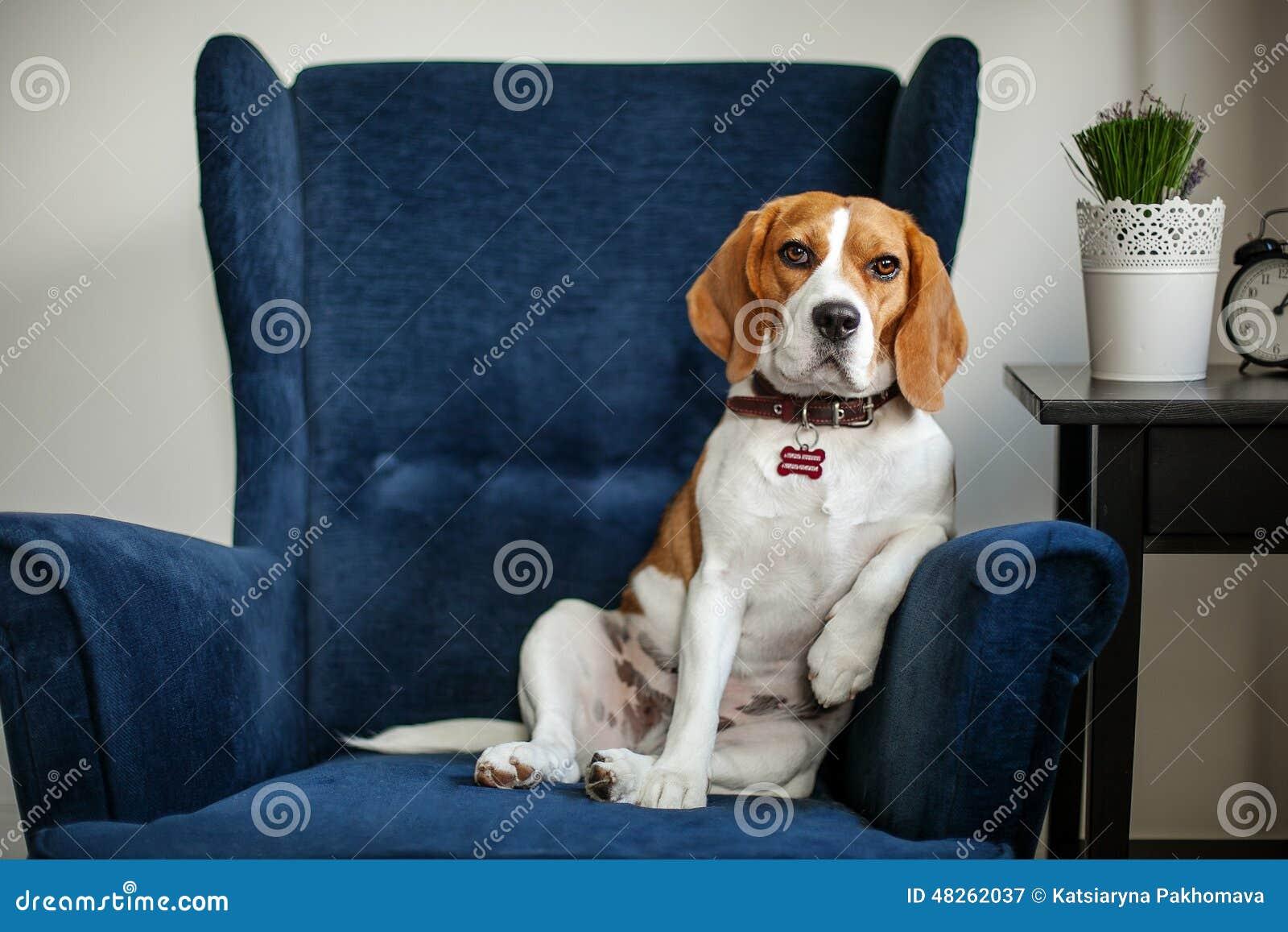 坐在椅子的滑稽的小猎犬狗喜欢上司