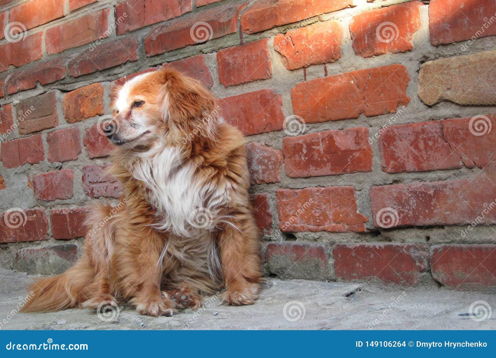 坐在砖墙附近的狗 混合品种红色狗或杂种笨蛋的特写镜头 关心的无家可归的孤独的动物