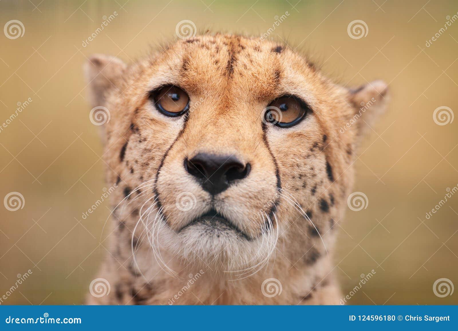 坐在草的猎豹面对观察者