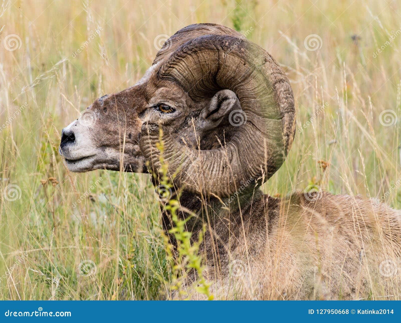 坐在草的美国大角野绵羊