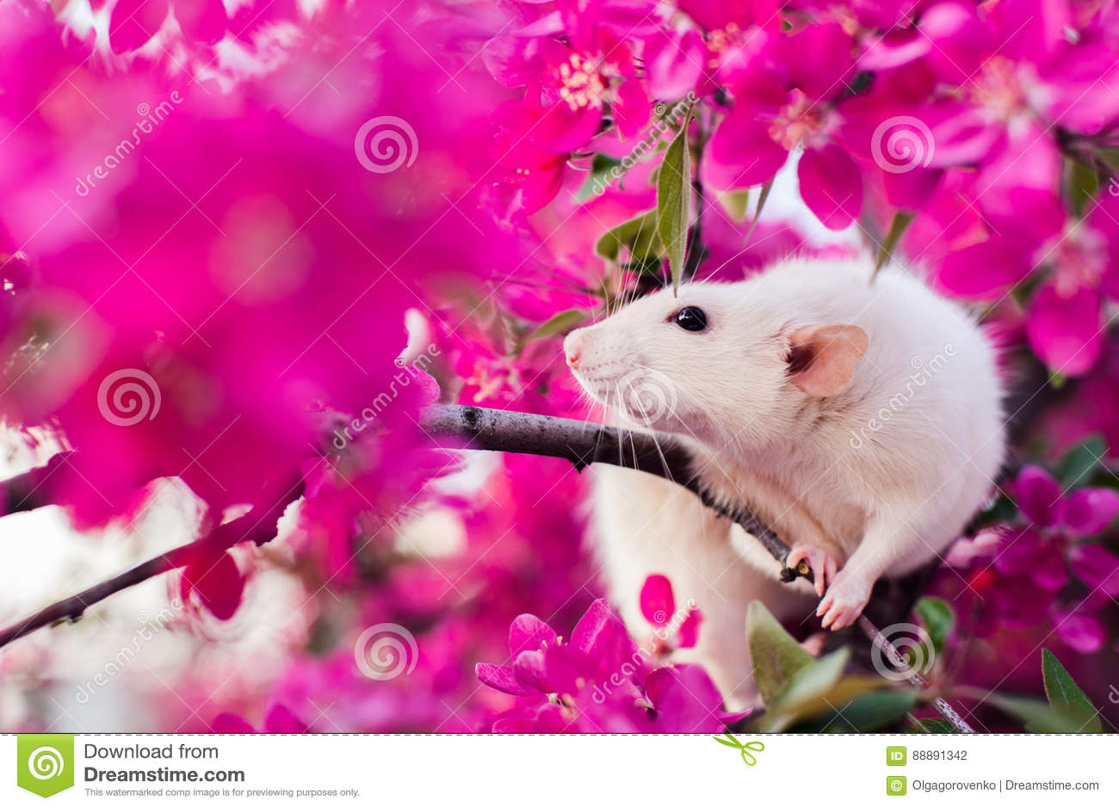 坐在蒲桃开花的逗人喜爱的花梢鼠
