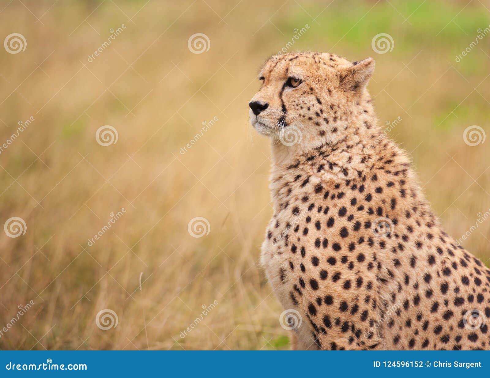 坐在高草的猎豹