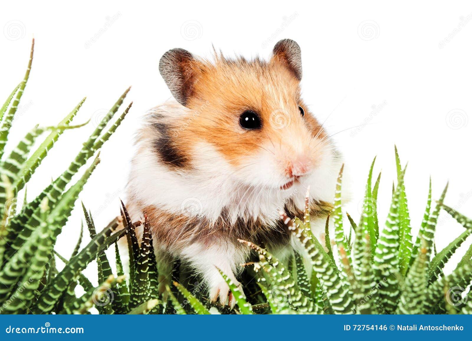 蓬松生长,国内,毛皮,蜜蜂,逗人,绿色,眼睛,草,乐趣,耳朵仓鼠喜爱的温度是多少图片