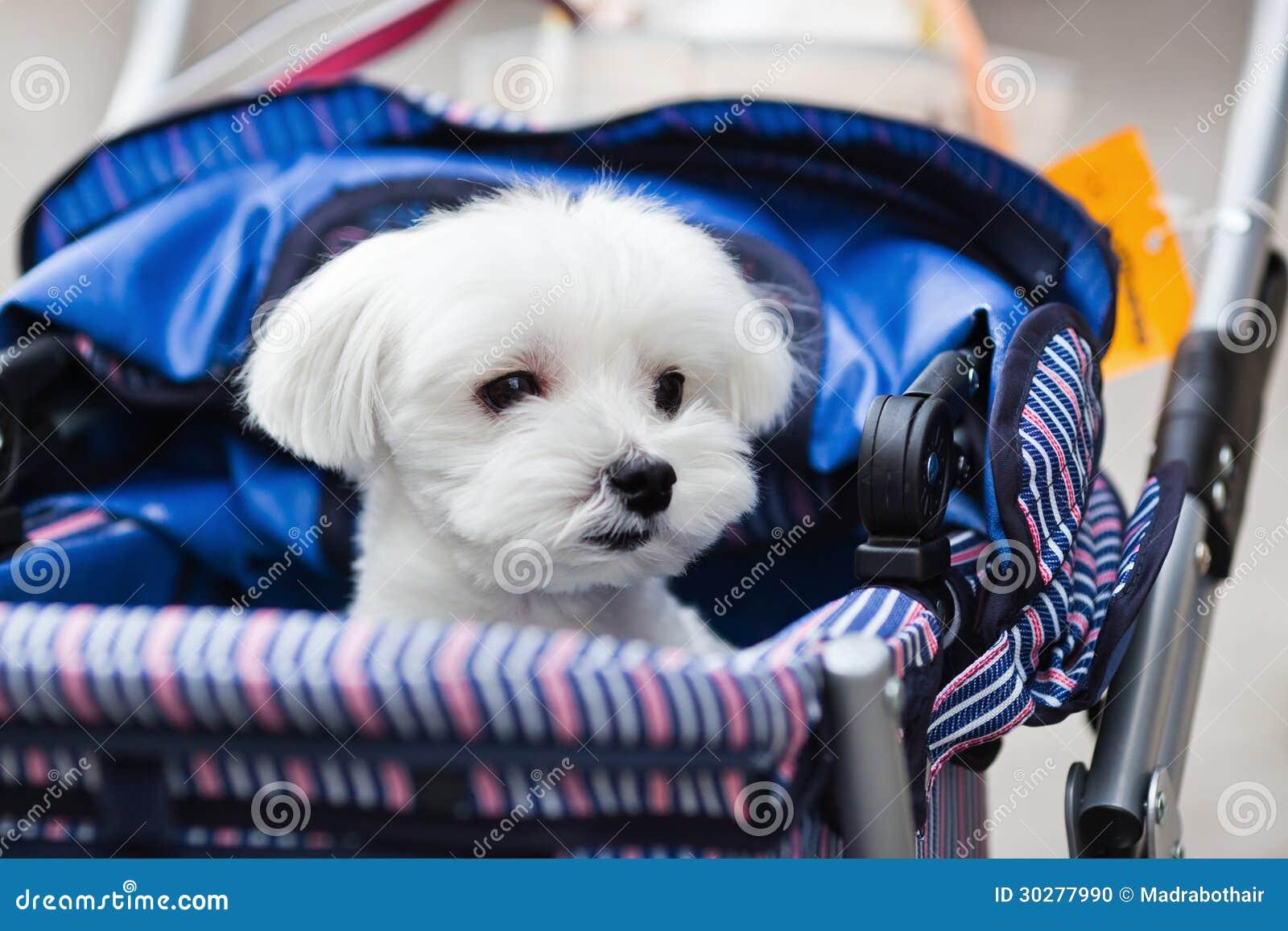 在婴孩车的逗人喜爱的马耳他狗