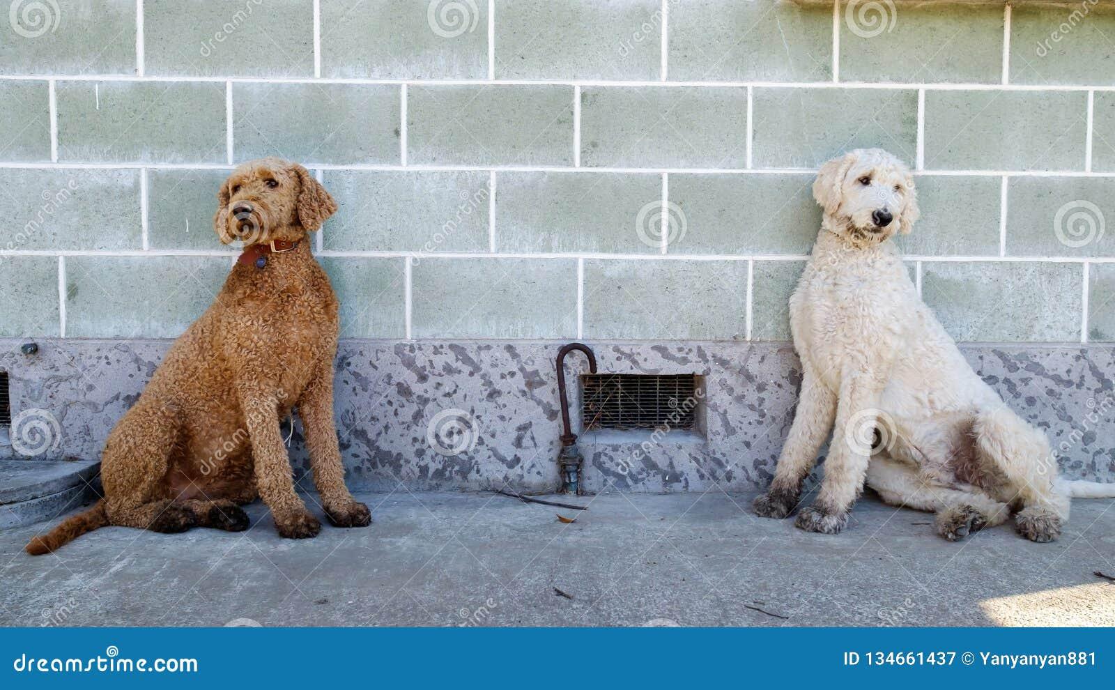 坐对墙壁的一个对双长卷毛狗兄弟